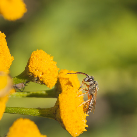 aculeata: Macro of a grey sweat bee on a wild tansy flower. Stock Photo