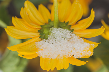 asterids: Macro of a snow on a chrysanthemum after an early autumn snow storm. Stock Photo