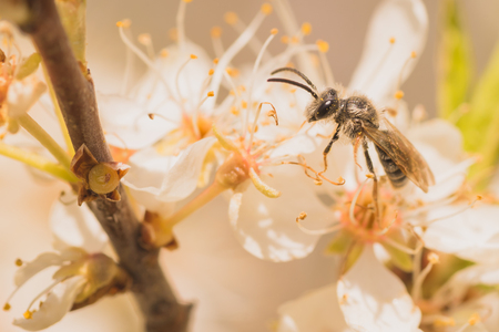 aculeata: A macro of a grey bee on cherry blossoms. Stock Photo