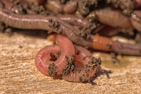 annelida: Macro of worms with dirt on their bodies. Stock Photo
