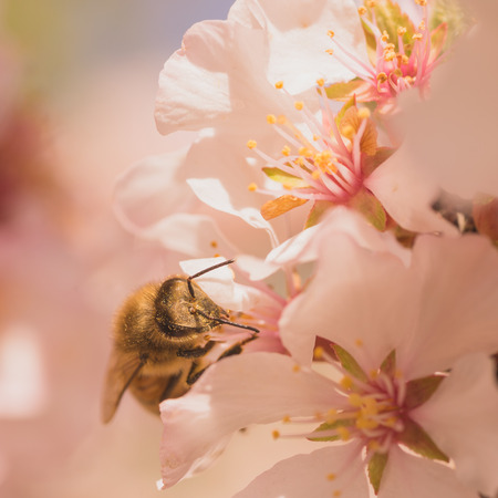 apocrita: Macro of a worker bee gathering pollen from cherry blossoms.