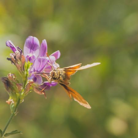 A macro of a grass skipper on a purple wildflower.