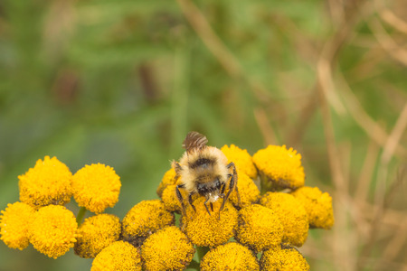 asterids: Macro of the front view of a bee collecting pollen from a tansy flower.