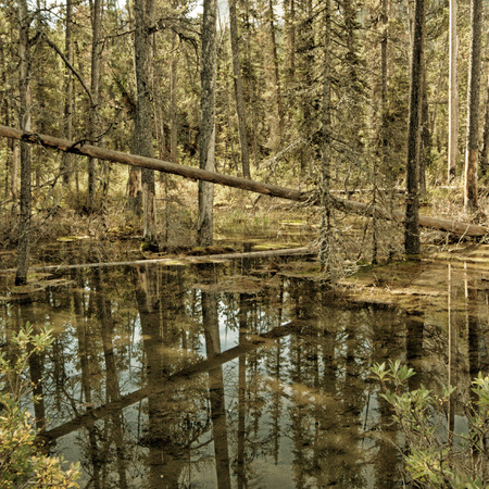 deadwood: Landscape of deadwood and trees reflecting in a small pond in the forest. Stock Photo