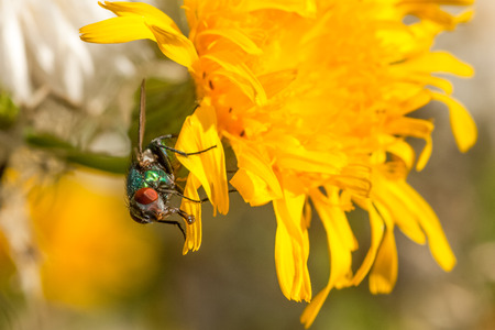 proboscis: Macro of a green bottle fly with larch proboscis sitting on a dandelion.