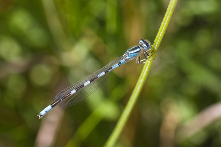 damselfly: Macro of a blue damselfly resting on the stem of foliage.