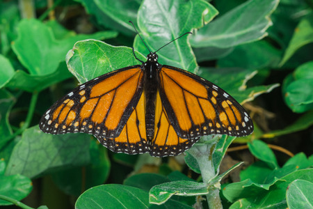 hexapoda: A macro of a monarch butterfly on a leaf, ventral view.