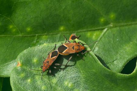 hexapoda: Macro of two milkweed bugs mating on a leaf.