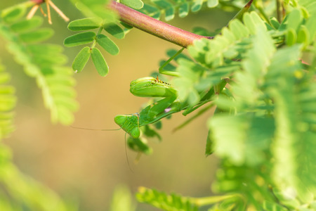 mantodea: Macro of a praying mantis framed by green foliage. Stock Photo