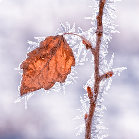 Macro of an autumn leaf covered in delicate hoarfrost. Stock Photo