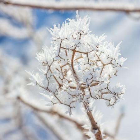 hoar frost: Detailed macro of winter hoar frost on a twig.