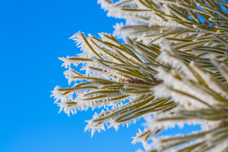 pine needles: Macro of hoar frost on pine needles against a vibrant blue sky.