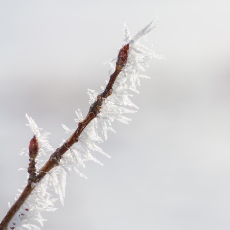 hoar: Winter macro of a budded twig covered in hoar frost, diagonal across a square image.