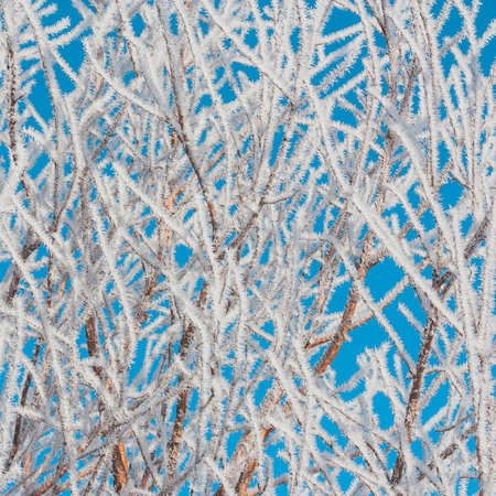 hoar: Hoar Frost covered foliage with a blues sky background. Stock Photo