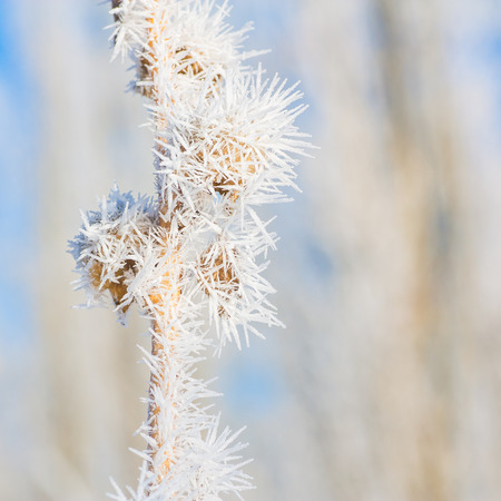 hoar frost: Macro of seed pods covered in hoar frost. Stock Photo
