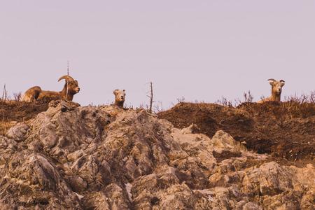 mountain goats: Mountain goats looking down from a mountain top.