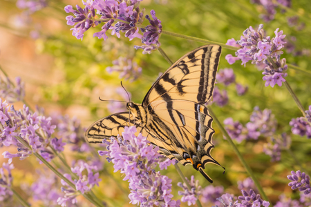 Macro of a Canadian Tiger Swallowtail Butterfly on purple lupins. Stock Photo
