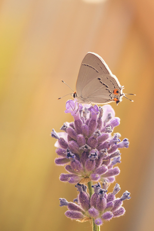 hexapoda: Macro of a Gray Hairstreak butterfly resting on a purple lupin.