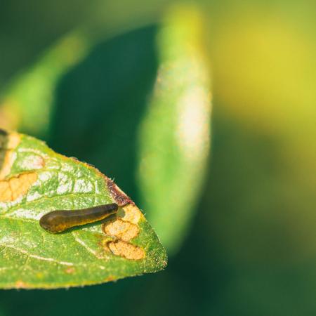 Macro of a pear slug on a damaged leaf.
