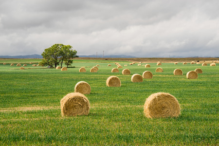 Landscape of hay bales in green grass with a a tree in the distance.