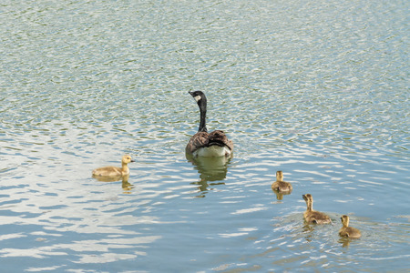 Swimming mother Canada goose swimming with four goslings.