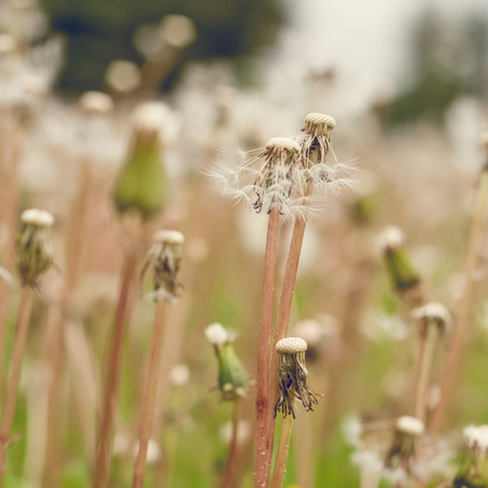 Close-up of a field of dandelions gone to seed