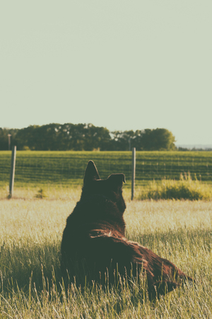 mans best friend: Dog with one bent ear lying in the grass watching over the prairie.