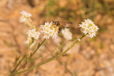Worker bee gathering pollen from a white flower. Stock Photo
