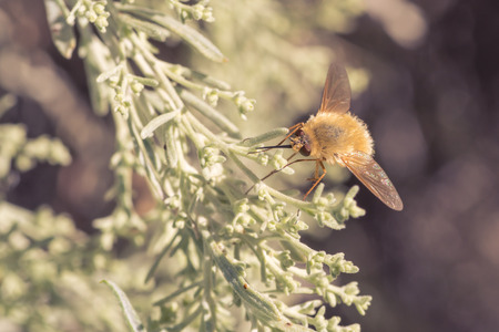 insecta: A bee fly resting on light green foliage.
