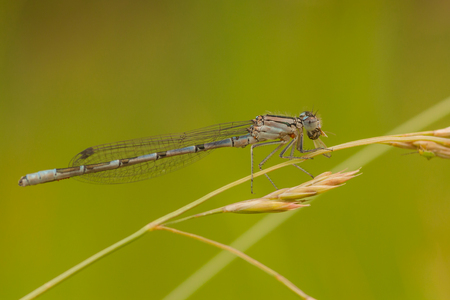 damselfly: A macro of a common damselfly eating its lunch on a blad of grass seed.