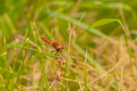 libellulidae: Front view macro of a red-veined darter resting on dried foliage in the grass. Stock Photo
