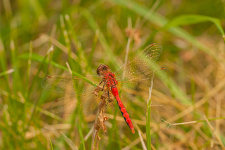 Macro of the dorsal view of a Red-Veined Darter resting on foliage in the grass. Stock Photo