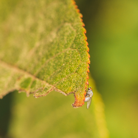 Light grey fly with orange eyes sitting on the jagged edge of a leaf with an orange edge.