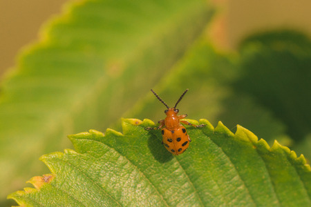 Macro of a Twelve Spotted Asparagus Beetle hanging onto the edge of a green leaf.
