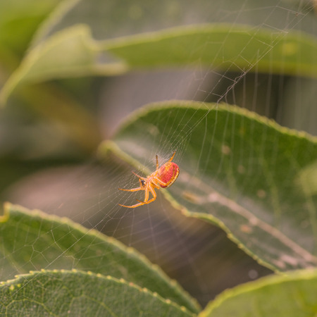 araneidae: Macro of a red and orange spider in its web. Stock Photo