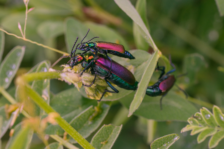 Macro of three mating blister beetles.  Focus on first two, third in background bokeh.