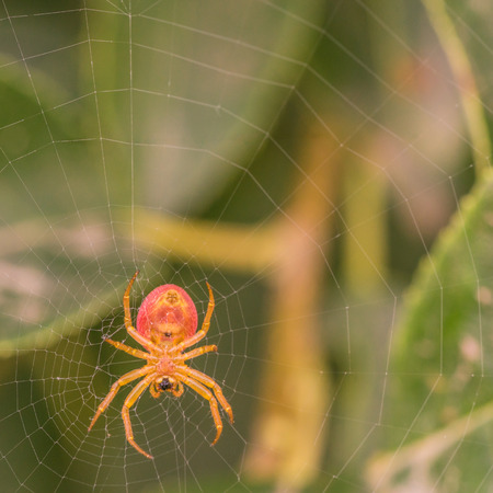 araneidae: Macro of the underside of a spider in its web.