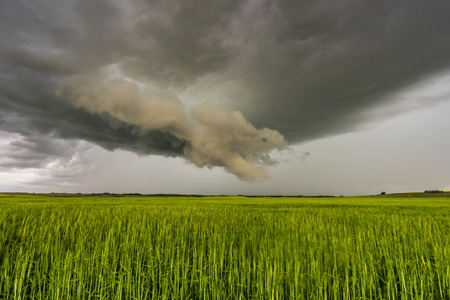 Landscape of a storm cloud reaching down towards green crops blowing in the strong winds.