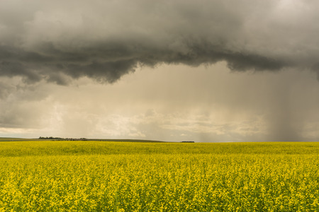 Landscape of a thunder storm over the bright yellow of a canola field. Stock Photo