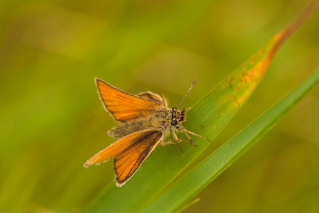 Macro of a skipper butterfly sitting on a blade of grass. Stock Photo