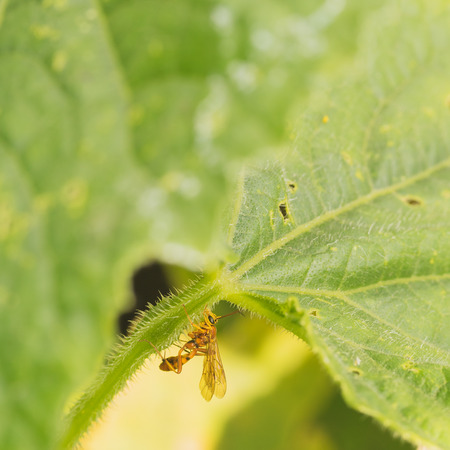 hexapoda: Macro of an Ichneomon wasp resting on a thistly leaf stem.