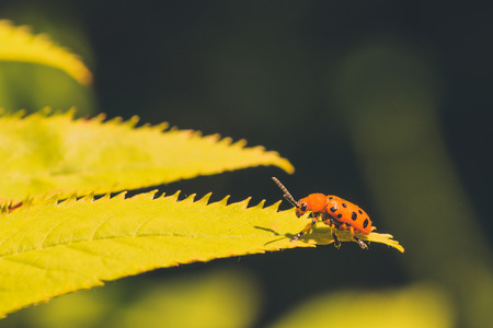 hexapoda: Macro of a Twelve Spotted Asparagus Beetle sitting on a yellow-green leaf. Stock Photo