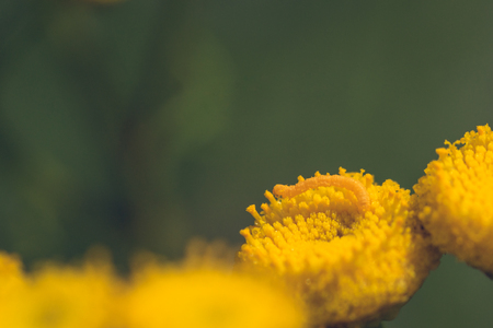 Macro of a tiny inch worm on a yellow tansy flower. Stock Photo