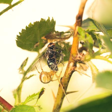 Macro of a Phylloneta impressa, cobweb spider, eating a fly.