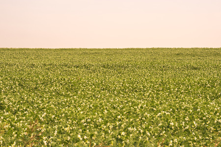 Landscape of a vast field of Peas.