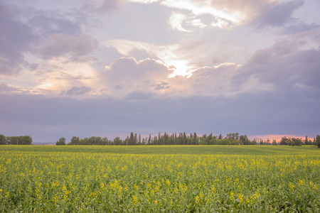 Sun breaks through storm clouds over a field of canola. Stock Photo