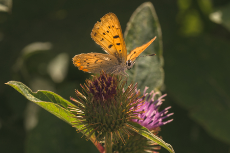 A macro of a Dorcos Copper Butterfly on the bud of a thistle.