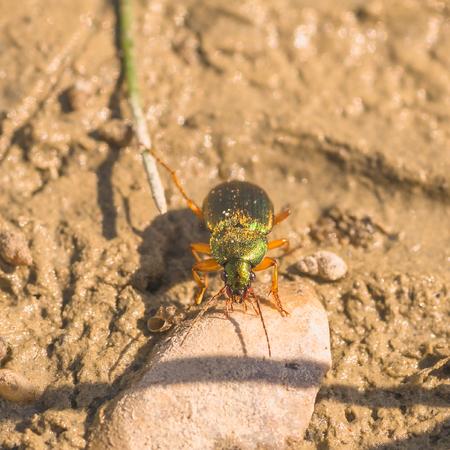 Macro of a vivid metalic ground beetle in the mud. Stock Photo