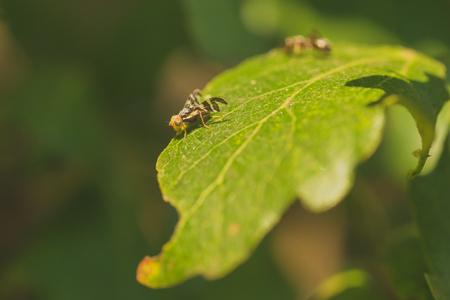 A fruit fly with colourful eyes resting on leaf. The bokeh of an ant is in the background. Stock Photo