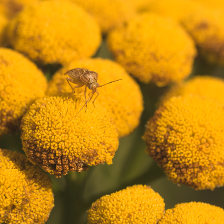 Macro of a lygus bug resting on a yellow tansy flower. Stock Photo